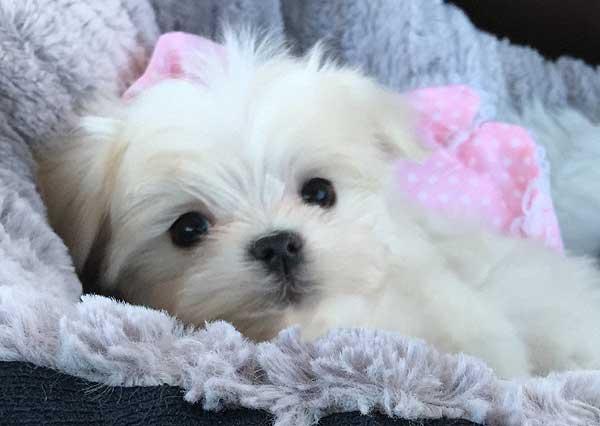 Gidgett - Maltese Puppy from Langford Ranch Kennels - Maysville, GA