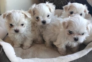 Maltese Puppies Available Langford Ranch Kennels Maysville Ga