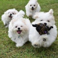 Future Puppies