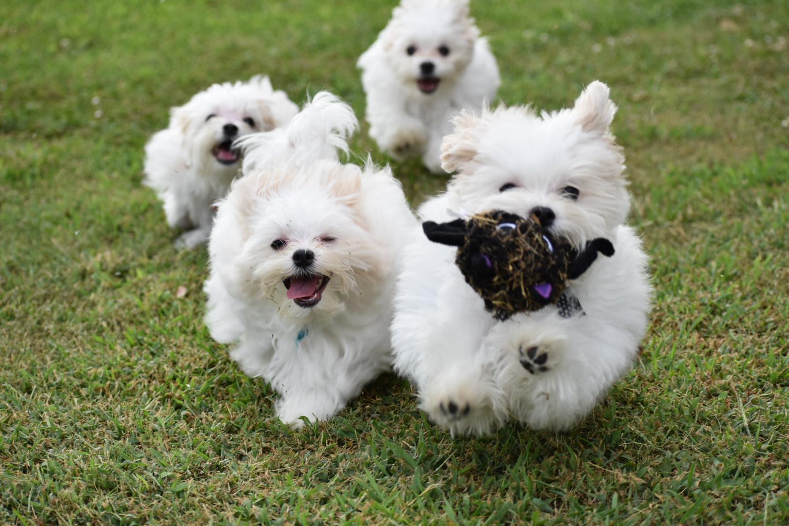Langford Ranch Kennels Maltese Puppy Breeders In North Ga