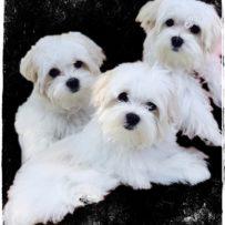 Maltese Puppy Gallery
