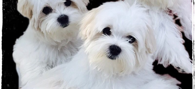 Langford Ranch Kennels - Maltese Puppy Breeders in North GA